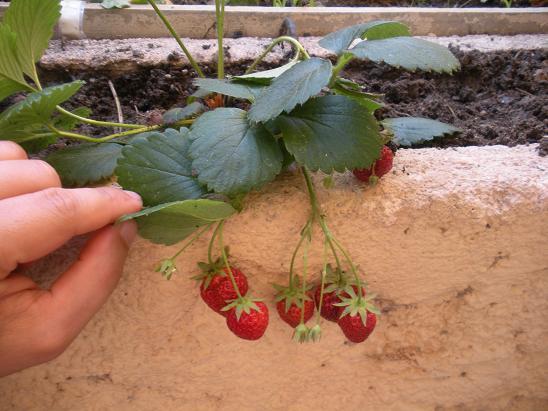 comment faire pousser des fraises sur son balcon. Black Bedroom Furniture Sets. Home Design Ideas